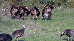 Turkey Hunting in Texas