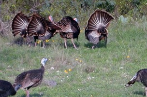the best turkey hunting in Texas!